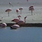 More flamingos...